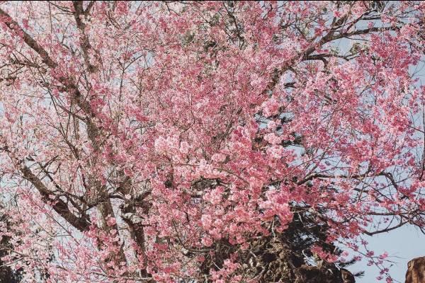 Cuối năm đón 3 mùa hoa Đà Lạt chuẩn bị nở rộ