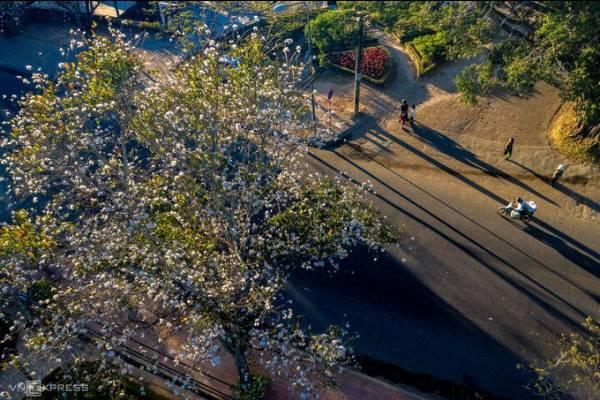 Hoa ban trắng nở rộ ở Đà Lạt