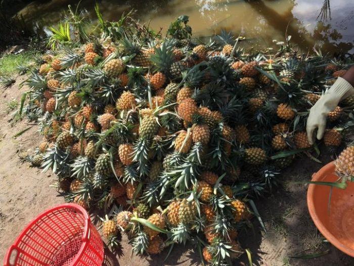 Đầu năm đi chợ quê ở kiên giang hái dứa ăn tại chỗ