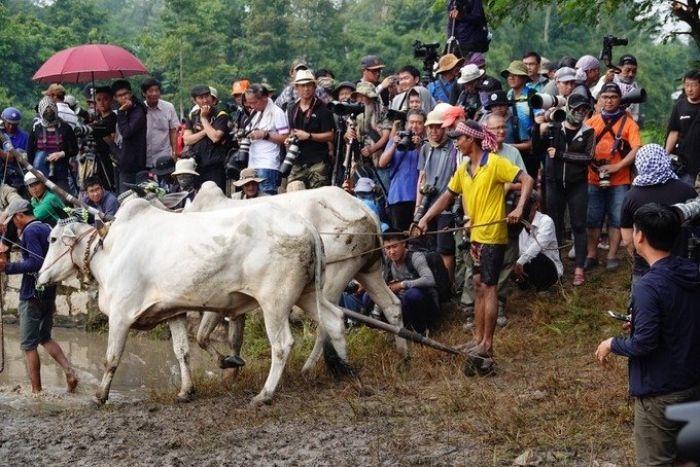 Đua bò và cấy mạ ở chùa Rô - kysudulich.com