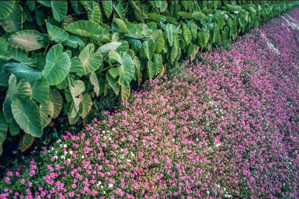 Cánh đồng hoa dừa cạn Phú Tân, An Giang
