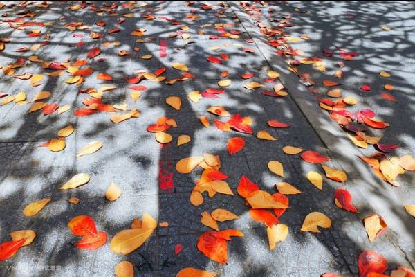 Hội An vào mùa cây bàng lá đỏ