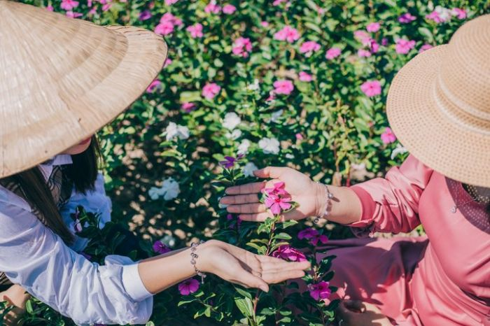 Cánh đồng hoa dừa cạn - kysudulich.com