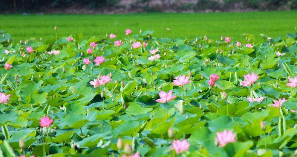 Cùng khám phá đồng sen Kênh 13 tuyệt đẹp ở An Giang