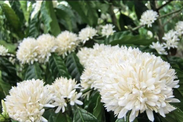 Có hẹn với Buôn Mê Thuột mùa hoa cà phê nở trắng xóa